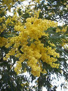 Mimosa flowers. Source: Wikipedia
